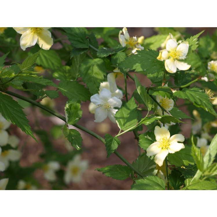Kerria japonica Fubuki Nishiki