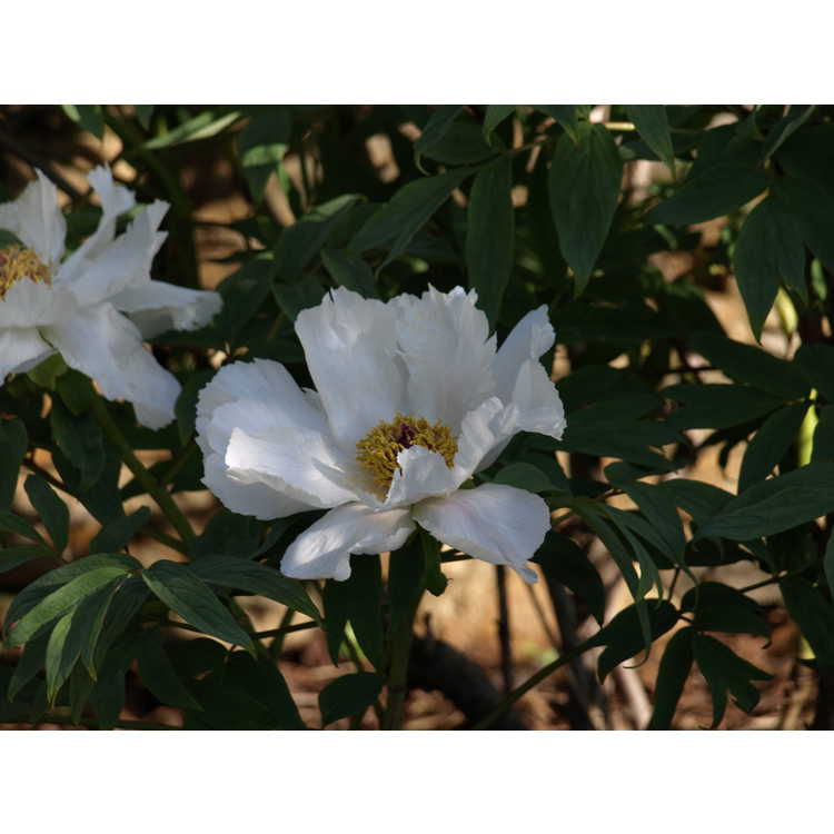 Paeonia ostii 'Feng Dan Bai' - Phoenix White Osti's tree peony