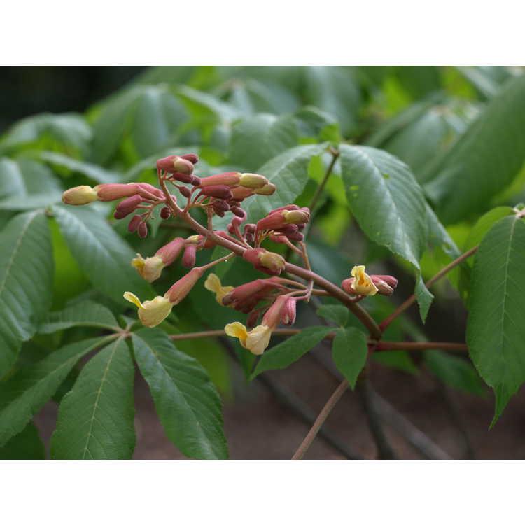 Aesculus ×mutabilis 'Induta'