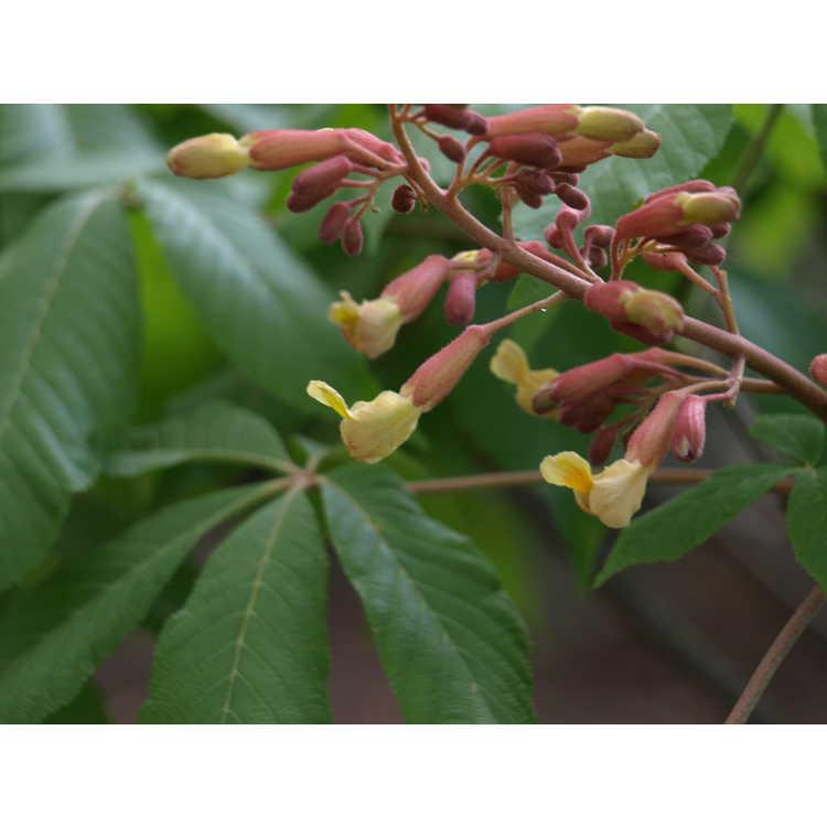 Aesculus ×mutabilis 'Induta' - hybrid buckeye