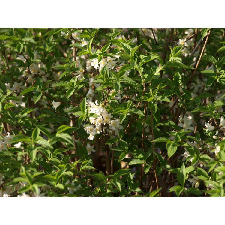 Deutzia coreana var. triradiata - Korean deutzia