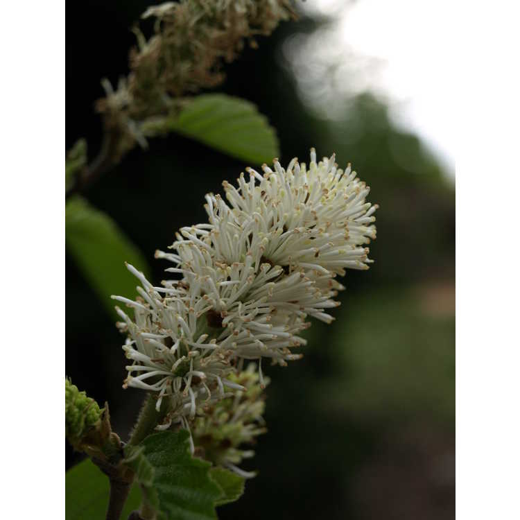 Fothergilla intermedia Klmfifteen Red Monarch