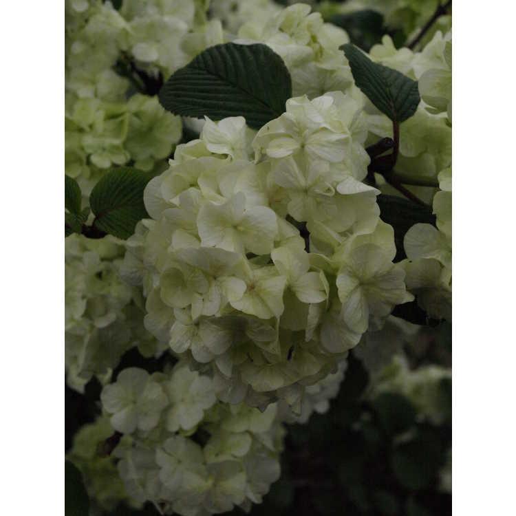 Viburnum plicatum 'Sawtooth' - Japanese snowball viburnum