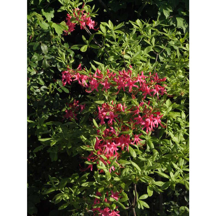 Rhododendron ×bakeri 'Clyo Red' - Baker's azalea