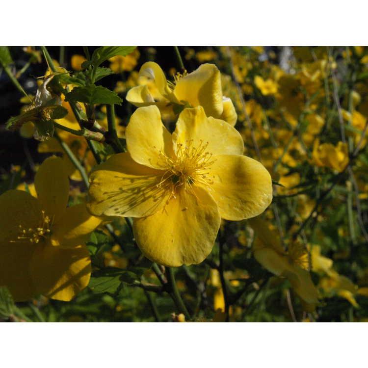 Kerria japonica 'Honshu'