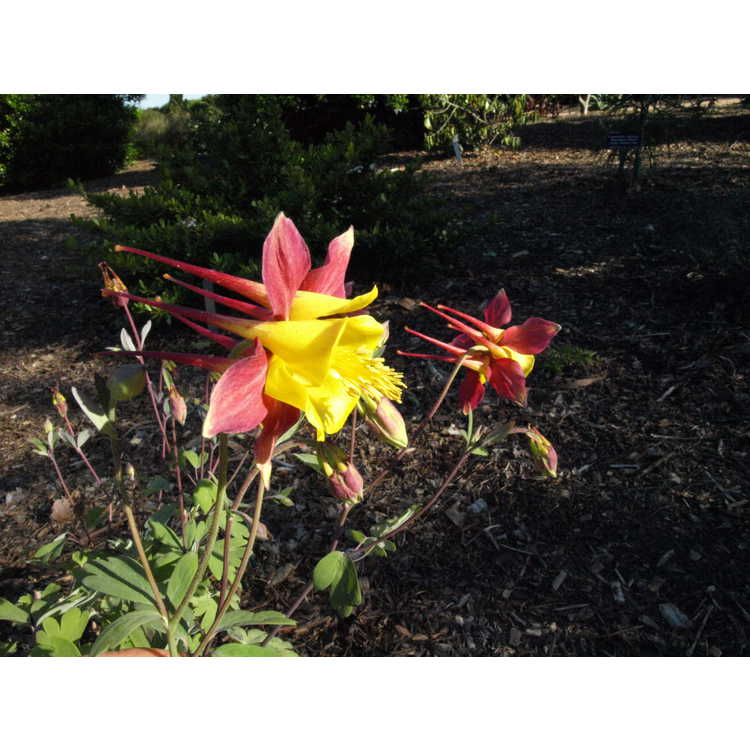 Aquilegia ×puryearana 'Blazing Star' - Puryear's columbine