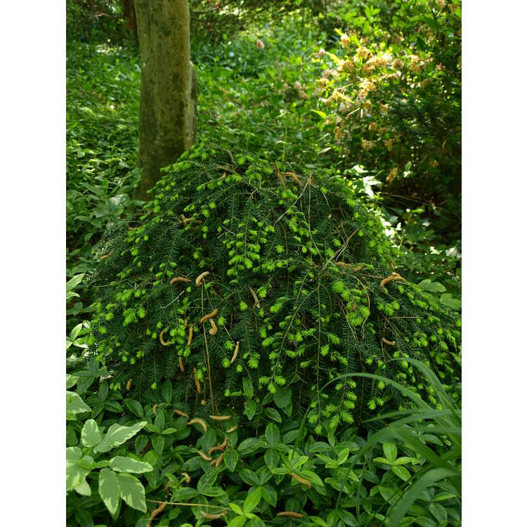Tsuga canadensis - eastern hemlock
