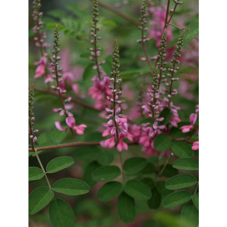 Indigofera 'Little Pinkie'