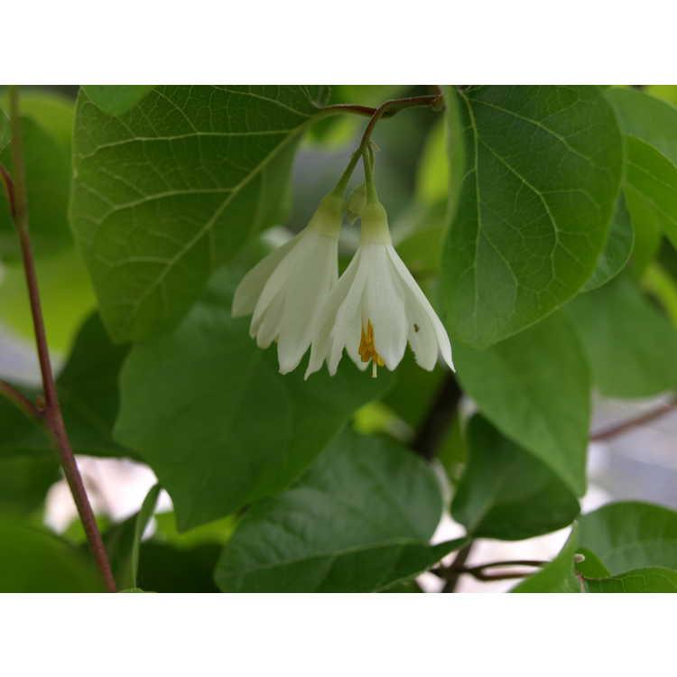 Styrax platanifolius subsp. texanus - Texas snowbells