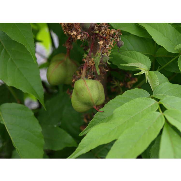 Ungnadia speciosa - Mexican buckeye