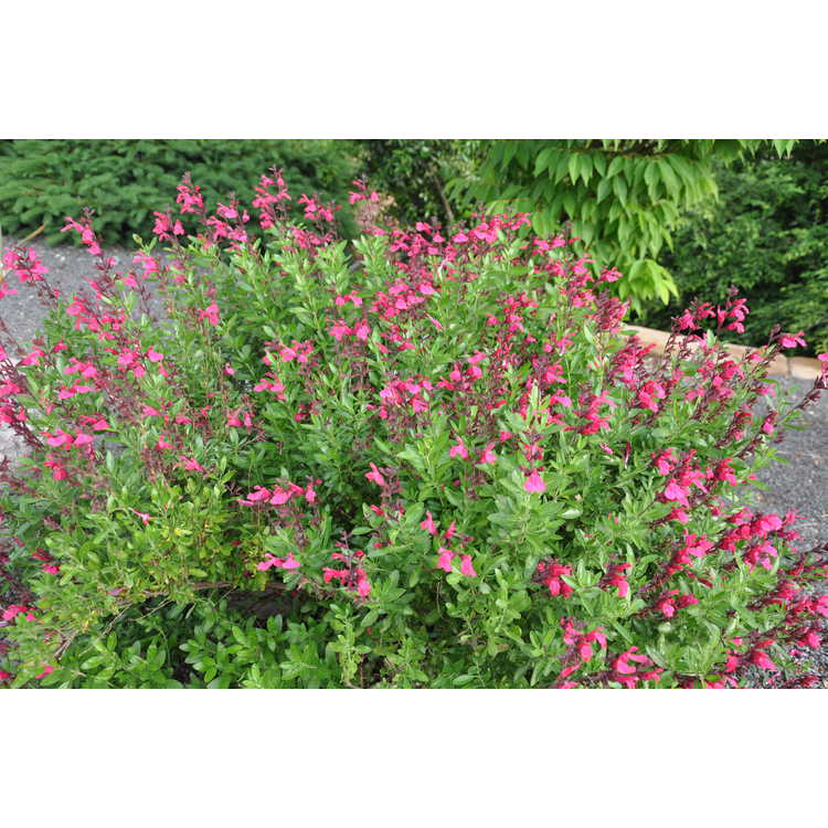 Salvia greggii 'Pink Perfection'