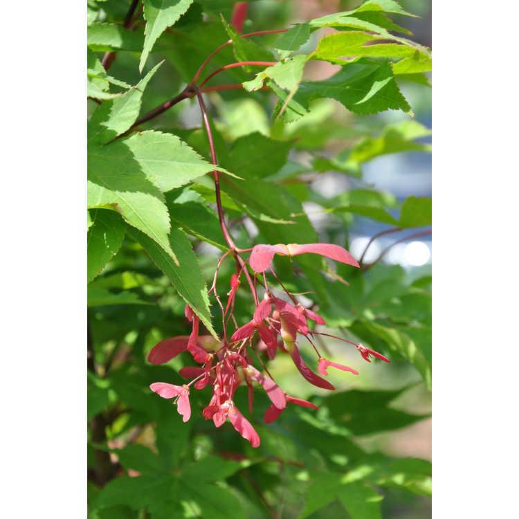 Acer palmatum 'Ōsakasuki'