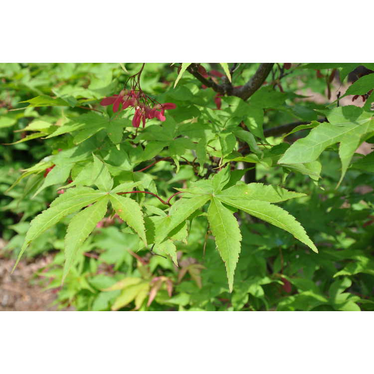 Acer palmatum 'Ōsakasuki' - green-leaf Japanese maple
