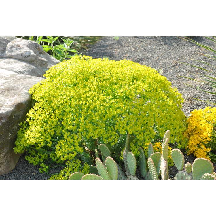 Euphorbia 'Dean's Hybrid' - Dean's spurge