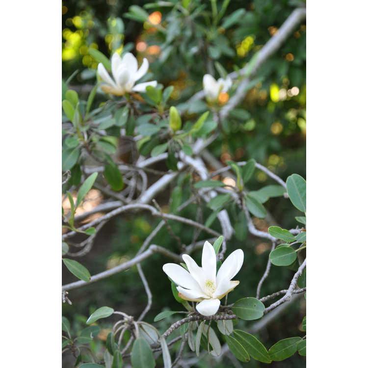 Magnolia virginiana var. australis 'Coosa' - littleleaf sweet bay magnolia