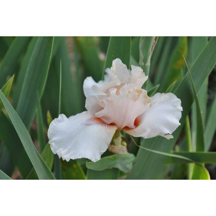 Iris Noble Lady