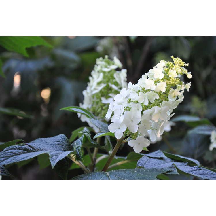 Hydrangea quercifolia Flemygea Snow Queen