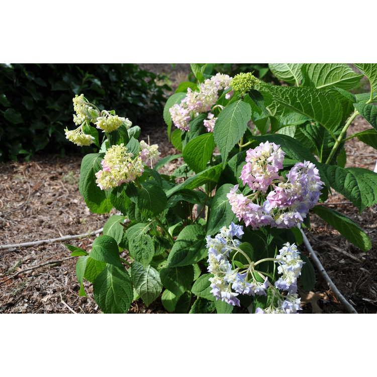 Hydrangea macrophylla 'David Ramsey' - bigleaf hydrangea