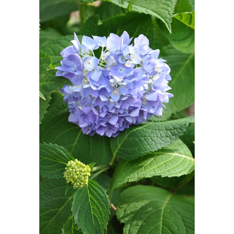 Hydrangea macrophylla Decatur Blue