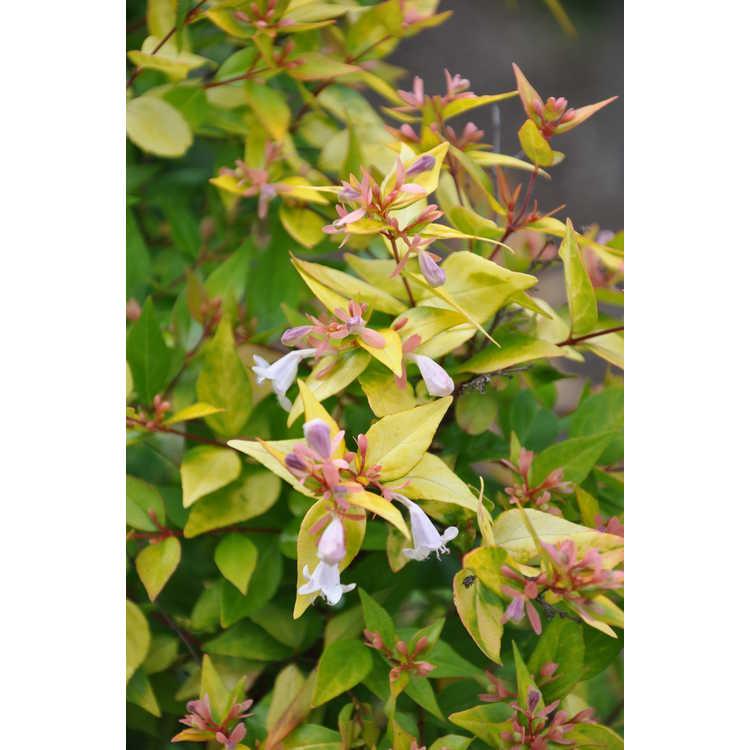 Abelia ×grandiflora 'Francis Mason'