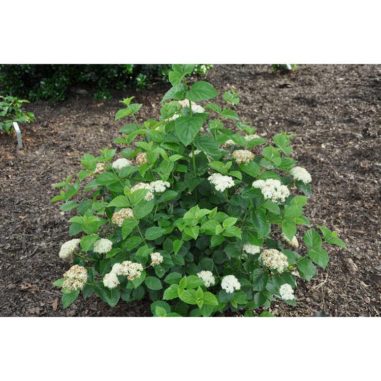 Viburnum bracteatum Emerald Luster