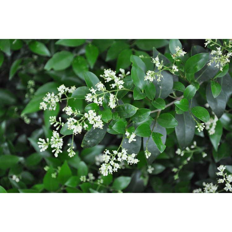 Ligustrum japonicum 'Hardy Small Leaf'