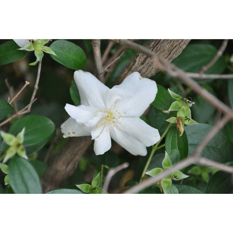 Philadelphus 'Polar Star'