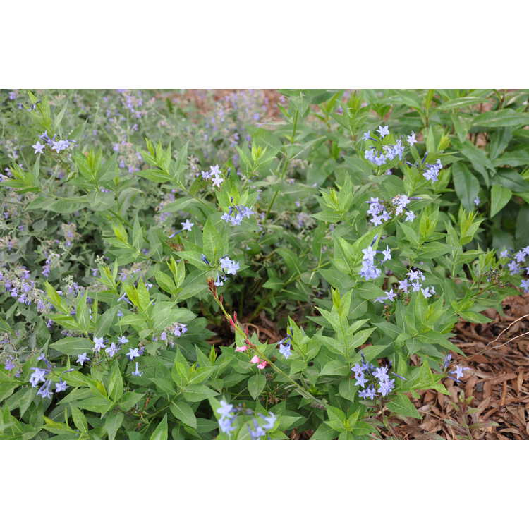 Amsonia 'Blue Ice' - hybrid blue-star
