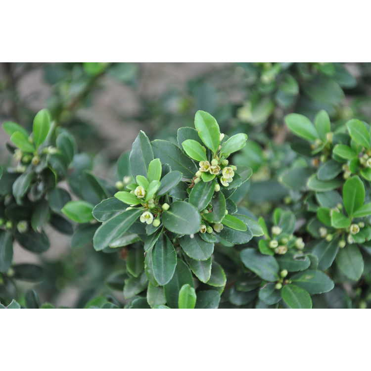 Ilex crenata Crowder upright
