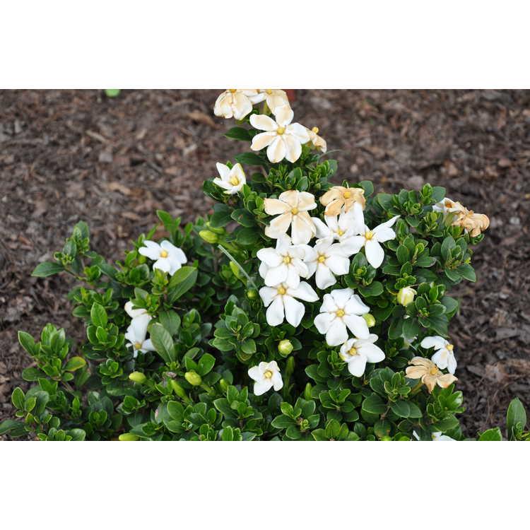 Gardenia jasminoides 'Lynn Lowrey'