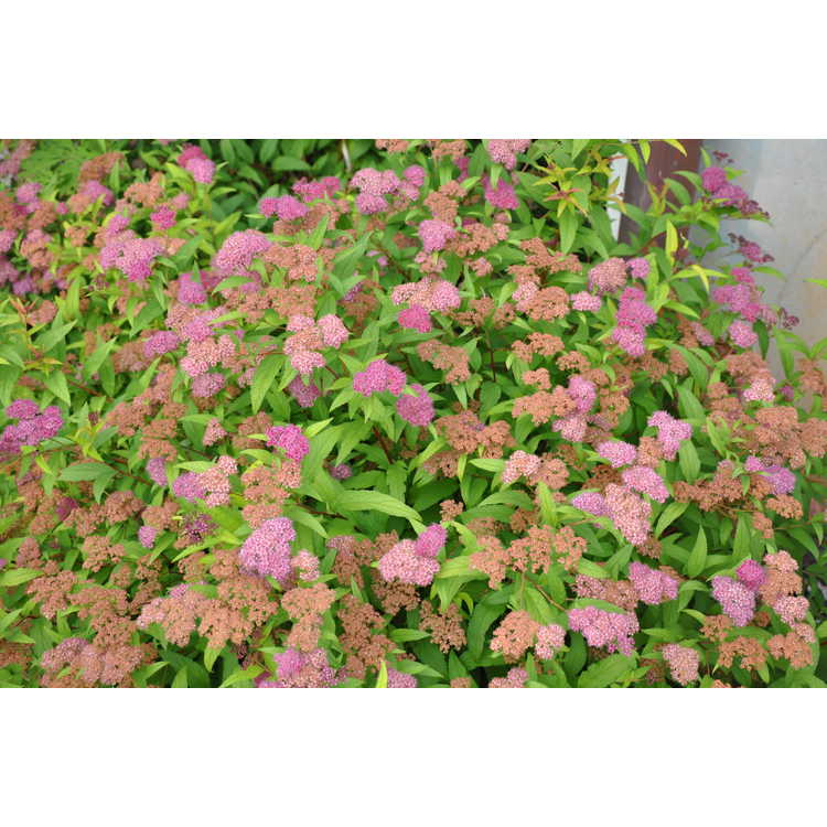 Spiraea japonica Flaming Mound