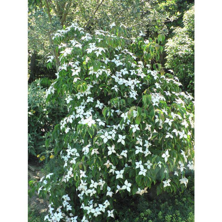 Cornus kousa 'Lustgarten Weeping' - weeping kousa dogwood