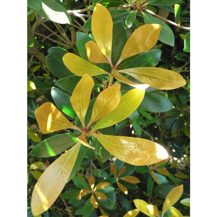 Ternstroemia gymnanthera 'Burnished Gold' - golden false Japanese cleyera