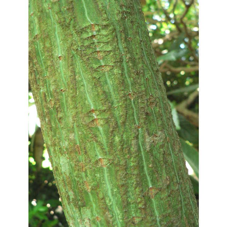 Acer davidii × A. tegmentosum