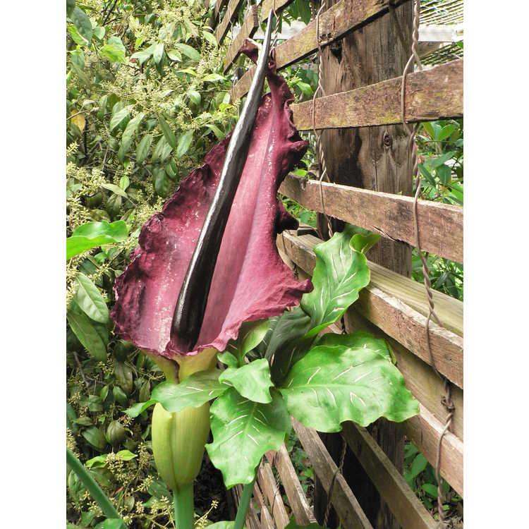 Dracunculus vulgaris - dragon arum