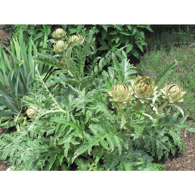 Cynara cardunculus [Scolymus Group] 'Green Globe' - globe artichoke