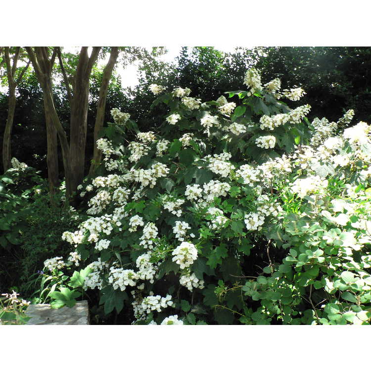 Hydrangea quercifolia Alison