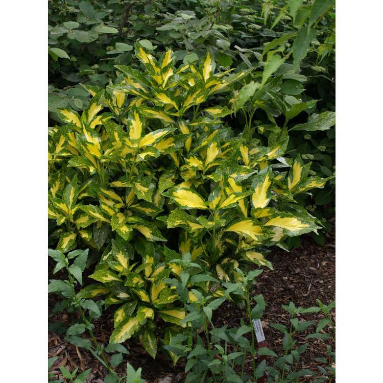 Aucuba japonica (Paul James seedling #6) - variegated Japanese aucuba