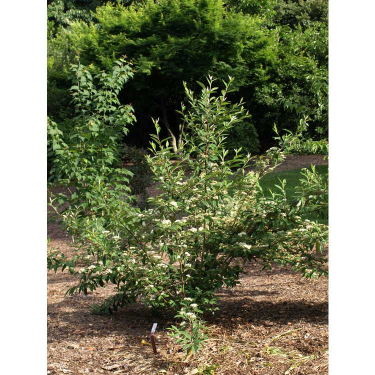 Cotoneaster salicifolius 'Avonbank' - willow-leaved cotoneaster