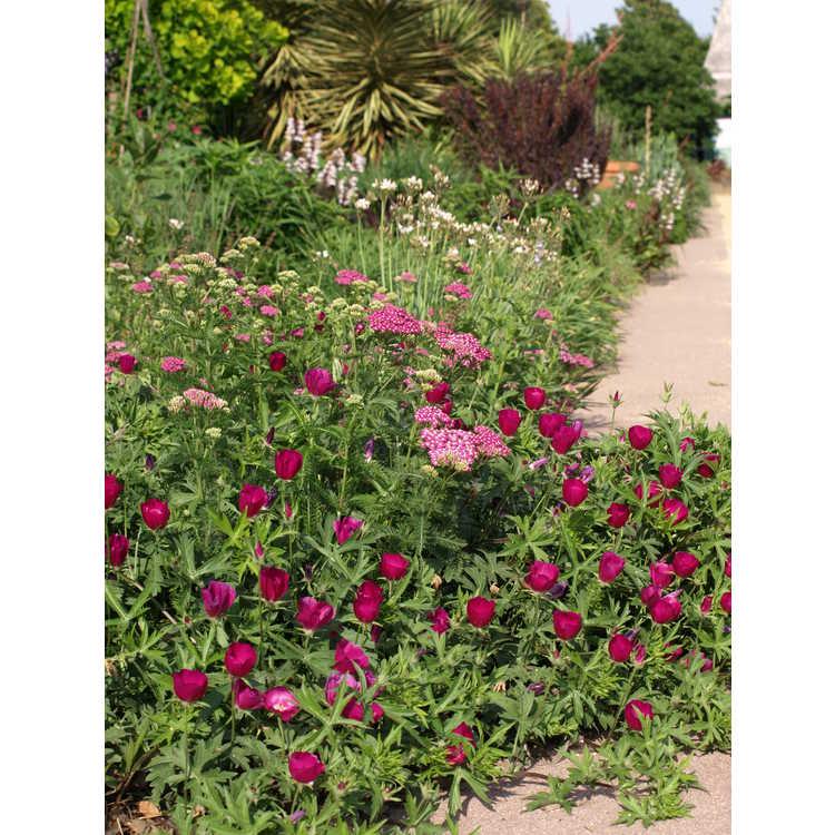 Achillea millefolium (Montrose rose form)