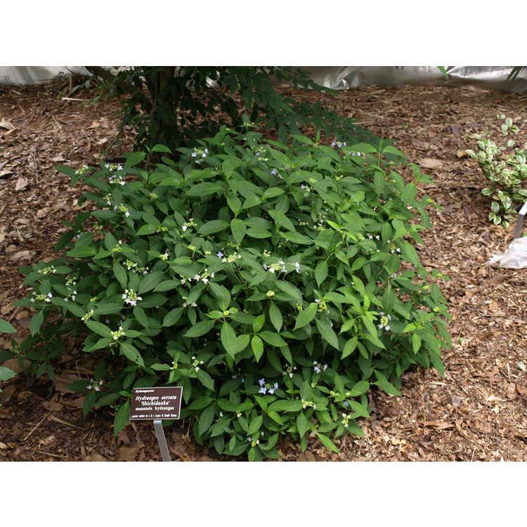 Hydrangea serrata 'Shichidanka' - mountain hydrangea