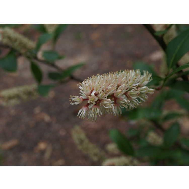 Itea japonica - Japanese sweetspire