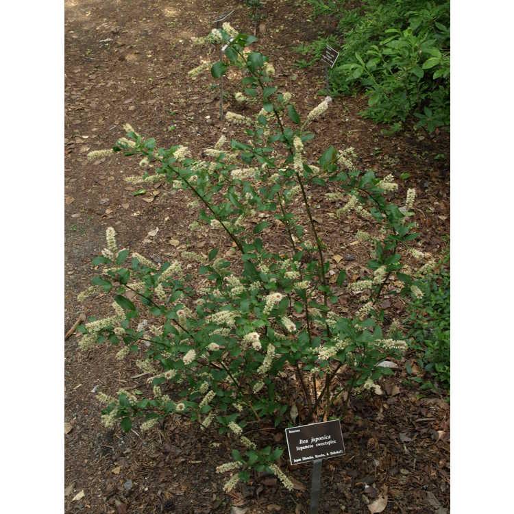 Itea japonica