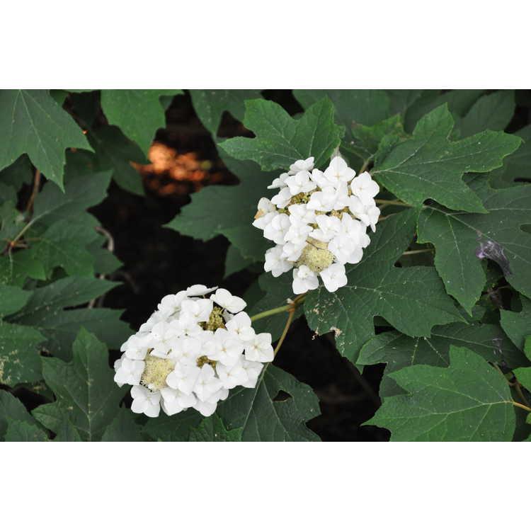 Hydrangea quercifolia 'Lynn Lowrey'