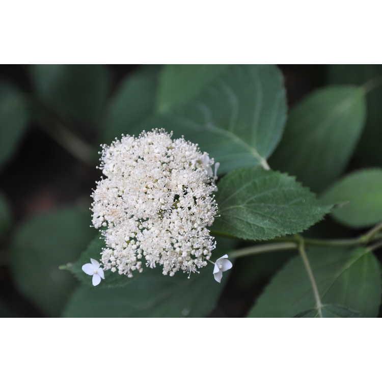 Hydrangea arborescens subsp. arborescens - smooth hydrangea
