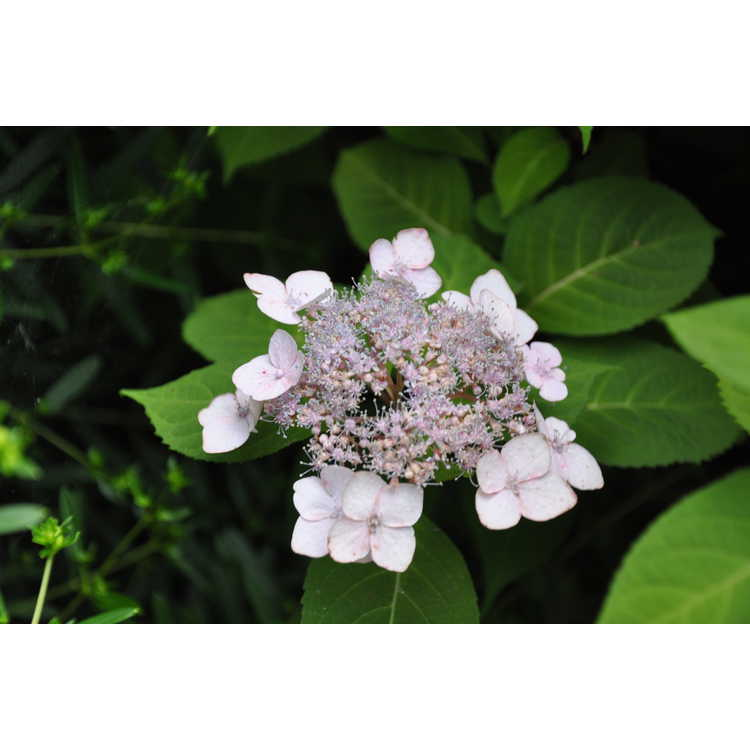 Hydrangea serrata 'Shishiva' - mountain hydrangea