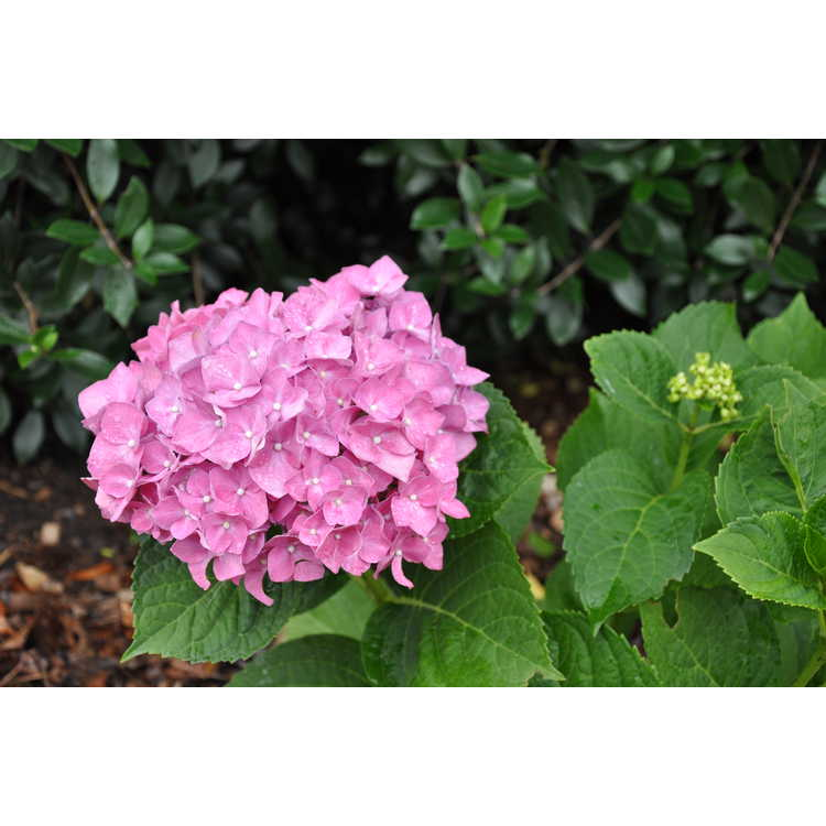 Hydrangea macrophylla 'Blue Heaven' - Forever & Ever Blue Heaven French hydrangea