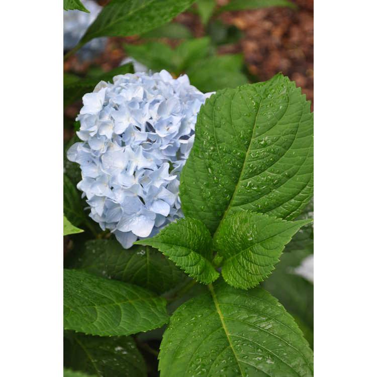 Hydrangea macrophylla 'Blushing Bride' - bigleaf hydrangea