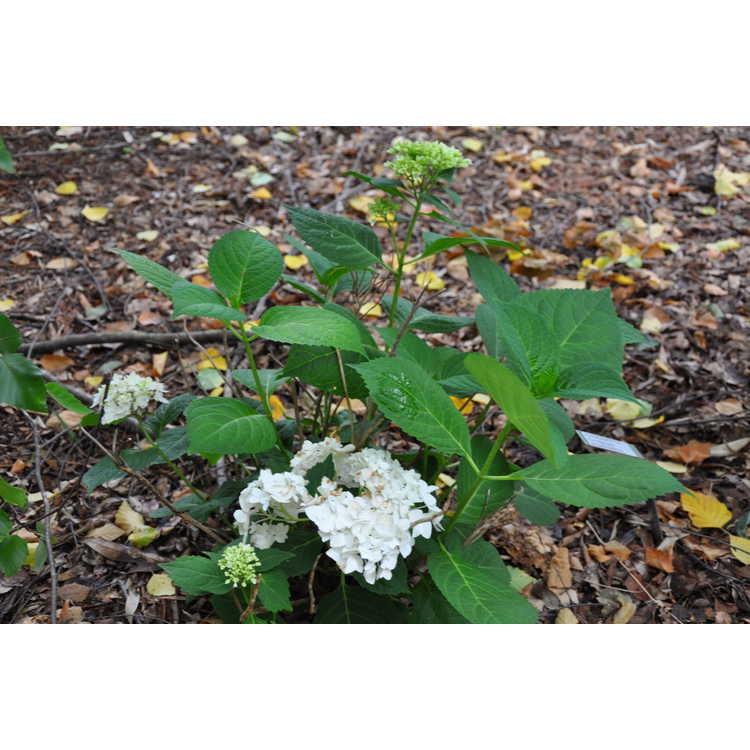 Hydrangea macrophylla Blushing Bride