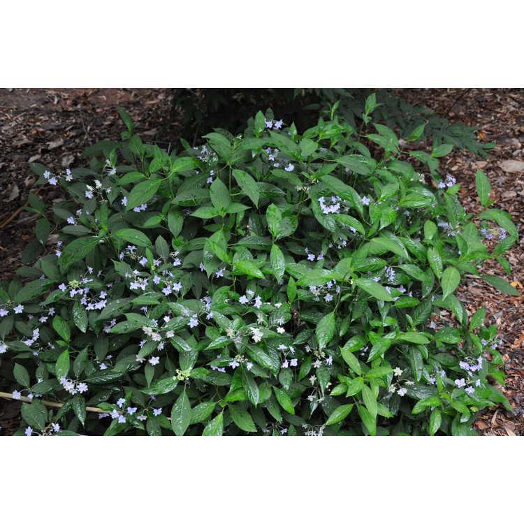 Hydrangea serrata Shichidanka